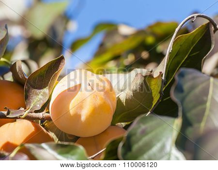 Ripe persimmon On Branch