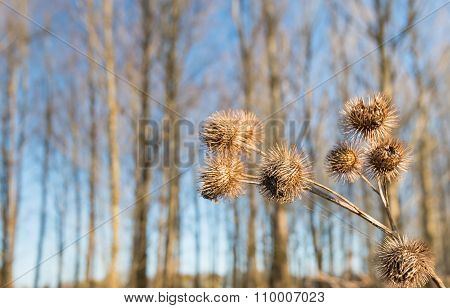 Seed Heads Of Greater Burdock Or  Arctium Lappa Plants