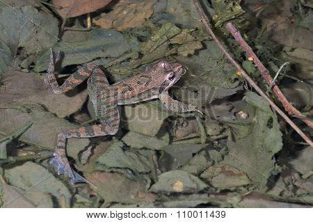 Italian agile frog (Rana latastei) in the breeding pond, Italy