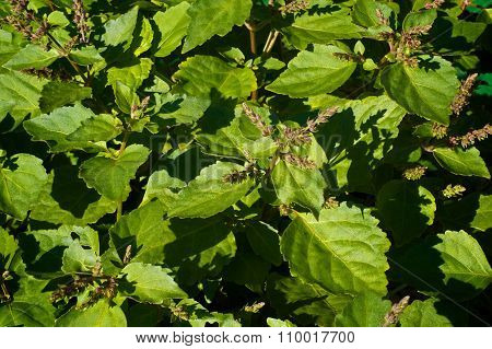 Flowering Patchouli Plant
