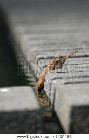 Sparrow Drinking