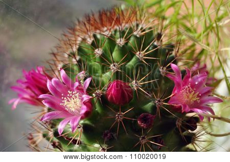 Cactuses in flowerpots with flowers. Cactus in a pot