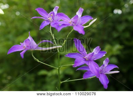 Flowers Of Forking Larkspur (consolida Regalis)