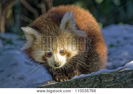 Red Panda (ailurus Fulgens) Portrait In Snow Walking Towards Camera