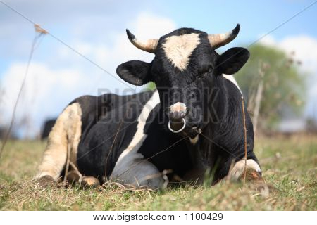 the bull lays on a grass and looks at us poster