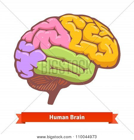 Coloured human brain diagram