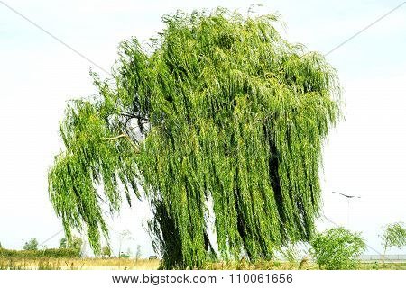 Ancient Willow Tree On Sky Background