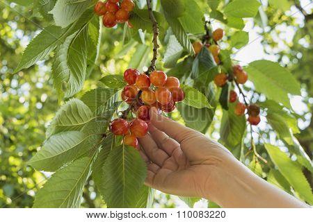 Picking Cherry