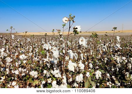 Cottons Field