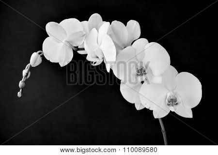 detail of the beautiful white flowers of a Phalaenopsis aphrodite orchid in black and white
