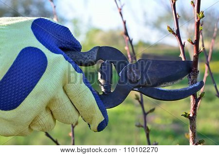 The Gardener Cuts The Branches Of Trees In The Garden