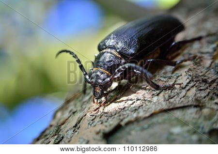 Black Beetle Woodcutter-tanner Crawling On Tree Bark