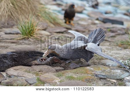 Northern Great Petrel
