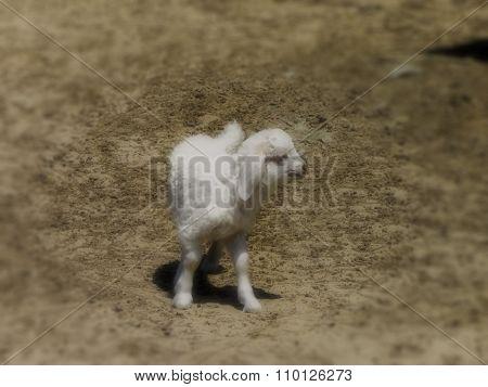 Baby Angora Goat