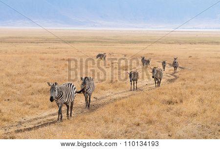 Common Zebra