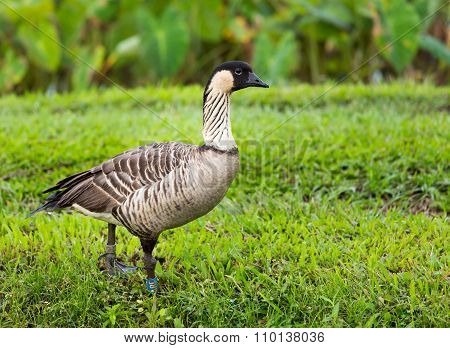 Nene Goose In Hanalei Valley On Kauai