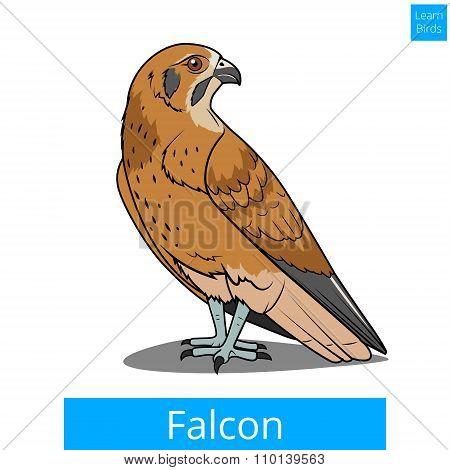 Falcon bird learn birds educational game vector
