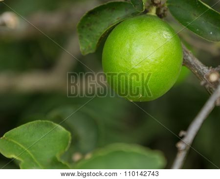 Tahitian Or Persian Lime Fruit Growing In Plantation In Kauai