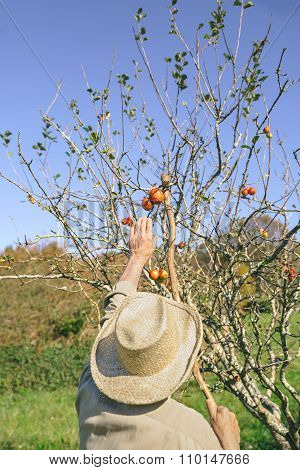 Senior man picking apples with a wood stick