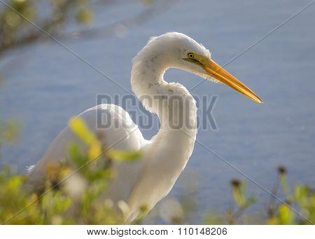 Great Egret Stalking its Prey