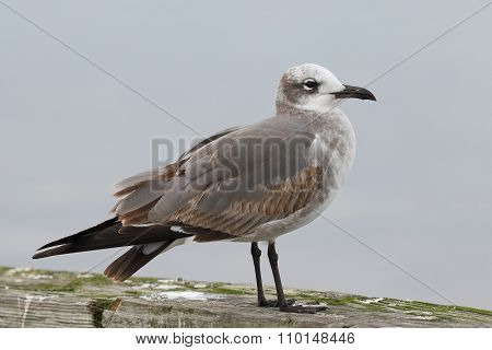 Laughing Gull (Leucophaeus atricilla) in First Winter Plumage - Jekyll Island Georgia poster