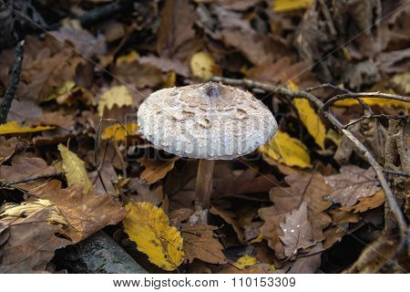 Parasol mushroom in the autumns forest Open parasol mushroom eatable mushrooms Eatable Parasol mushr