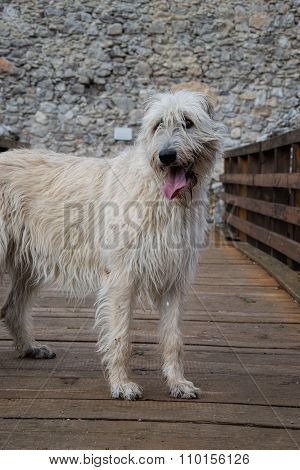 Portrait of beautiful Irish Wolfhound dog in the castle