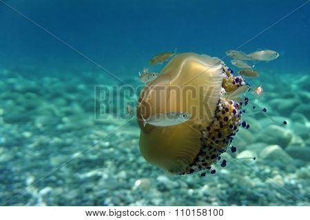Jellyfish with fishes