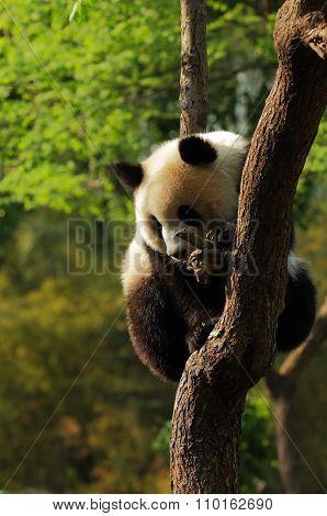 Cute Giant Panda Cub