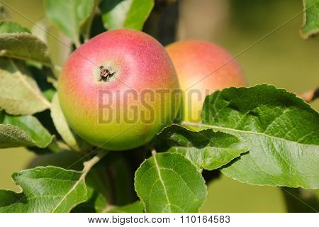 Closeup of Crown Prince Rudolf (Kronprinz Rudolf) apple tree with fruit in Austria, Europe. It is the oldest Styrian variety