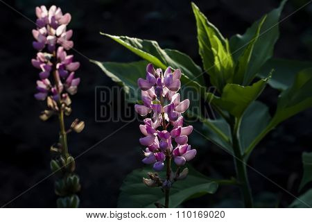Beauty Pink And Lilla Lupine