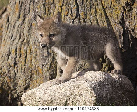 Young wolf pup
