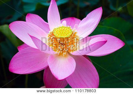 Indian Lotus.