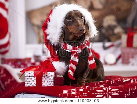 puppy christmas dachshund