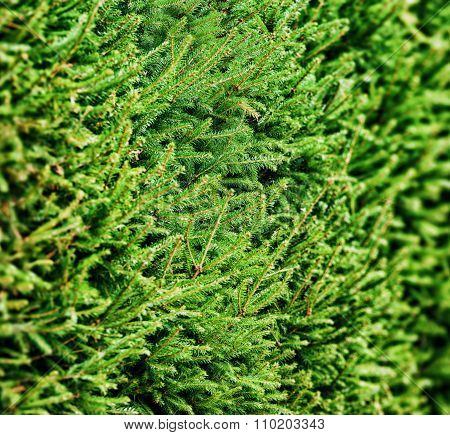 Background Of Christmas Tree Branches