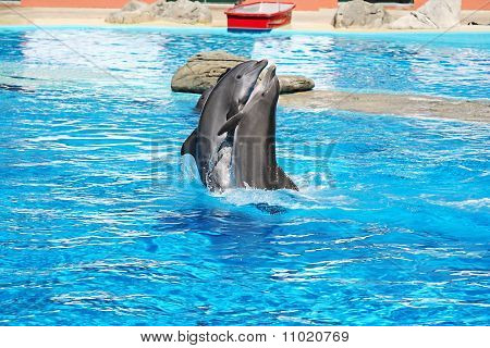View of a Dolphins Dance in a clear waters pool poster