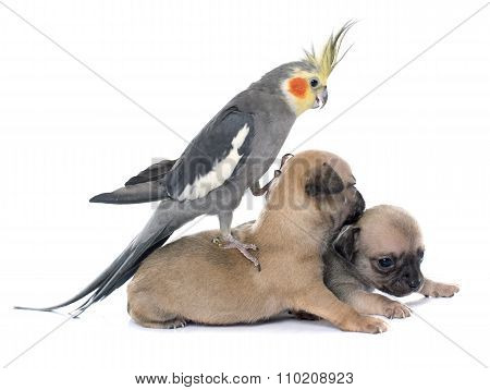 Young Puppies Chihuahua And Cockatiel