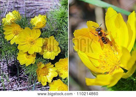 Wild medicinal herb of spring Adonis (Adonis vernalis)