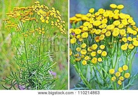 Wild-growing medicinal plant common tansy (Tanac?tum vulg?re)
