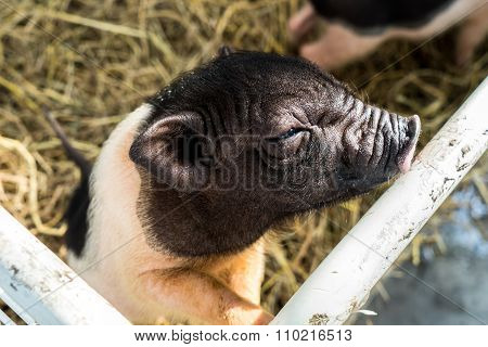 Dwarf Hog In The Cage