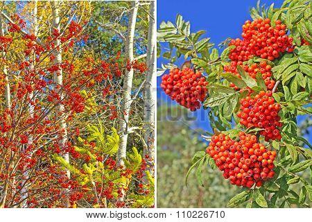Medicinal plant mountain Ash ( Sorbus aucuparia)