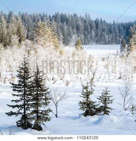 Snow Covered Fir Trees In The Forest - Square Format