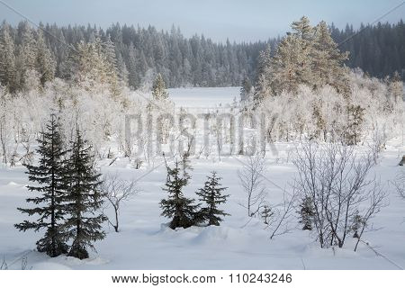 Snow Covered Fir Trees In The Forest