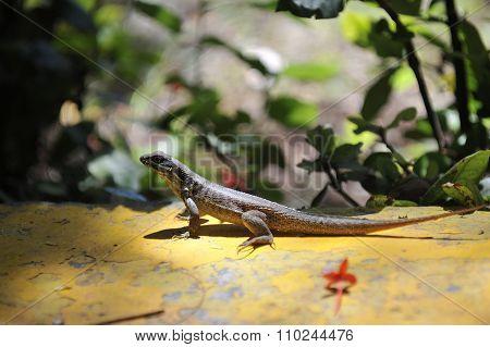 Common Grey Lizard.