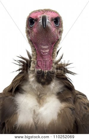 Close-up of a Hooded vulture - Necrosyrtes monachus (11 years old) in front of a white background