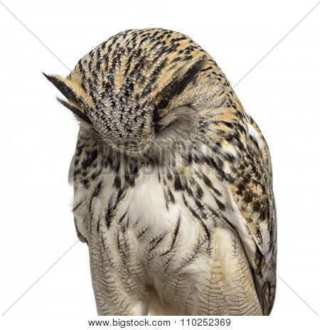 Close-up of a Siberian Eagle Owl sleeping - Bubo bubo (3 years old) in front of a white background