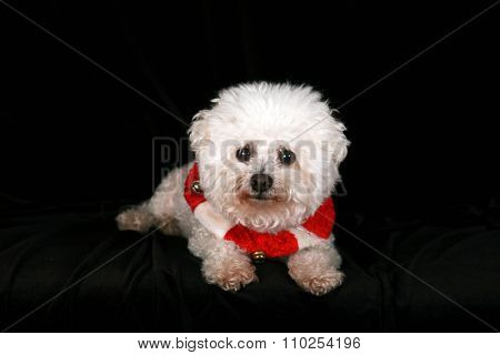 A Beautiful Pure Breed Bichon Frise dog wears her Red and White Christmas Holiday Necklace complete with Brass Bells as she poses for her portrait on black velvet in a photo studio. Focus on her face.