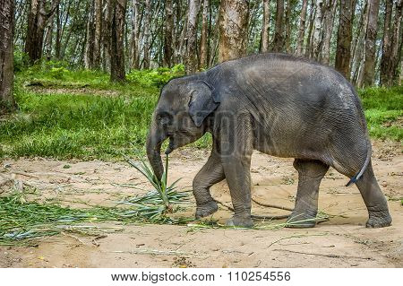 Baby Asian Elephant In South Thailand