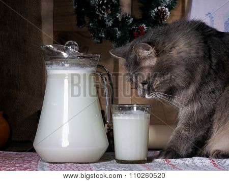The cat looks at a glass of milk