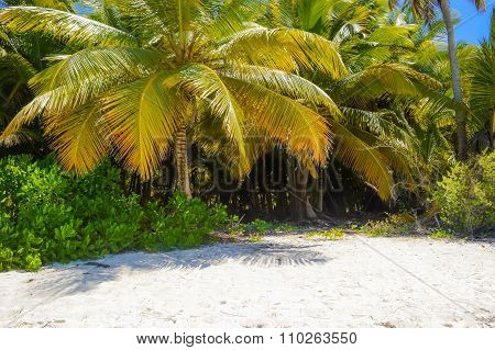 Coconut Palm Tree On The Tropical Sandy Beach In Dominican Republic